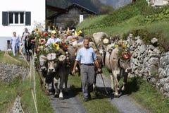 Wassen Schweiz, September 15 2018: Ceremoniel som ner kör av nötkreatur royaltyfri foto
