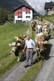 Wassen, Zwitserland, 15 September 2018: Het plechtige drijven neer van vee stock foto's