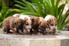Wassende vijf puppyhond stock afbeeldingen
