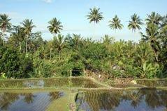 Wasser auf dem Reisfeld lizenzfreie stockbilder
