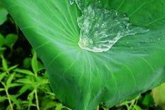 Wasser auf einem Lotosblatt. Lizenzfreie Stockbilder