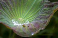Wasser auf Lotosgrünblatt stockfotografie