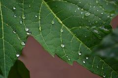 Wasser auf Papayablatt Stockfoto