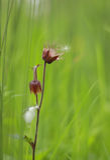 Wasser Avens, der den Samen sät stockfoto
