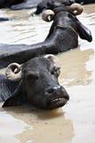 Wasser-Büffel Lizenzfreies Stockbild