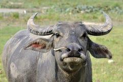 Wasser-Büffel Stockfotografie