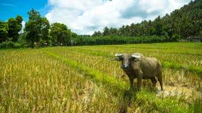 Wasser-Büffel, der für Kamera aufwirft stockbild