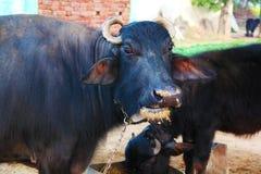 Wasser-Büffel, der ihre Nahrung kaut lizenzfreie stockfotografie
