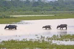 Wasser-Büffel-Familie in einem Sumpfgebiet lizenzfreie stockbilder
