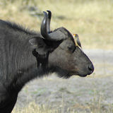 Wasser-Büffel u. Oxpecker lizenzfreie stockbilder