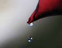 Wasser-Bratenfett vom Rosen-Blumenblatt Lizenzfreie Stockbilder