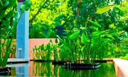 Wasser canna Stockbild
