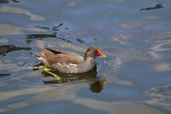 Wasser-Henne Stockfotografie