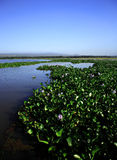 Wasser-Hyazinthe Stockbild