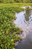 Wasser-Hyazinthe Stockfotografie