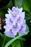 Wasser-Hyazinthenblume stockbilder