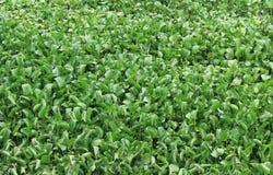 Wasser hydrophytes Lizenzfreies Stockfoto