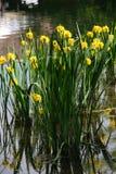 Wasser-Iris, Wasser-Iris, gelbe Lilie, falscher Acorus Lizenzfreie Stockfotos