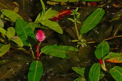 Wasser knotweed mit rosa Blume - Persicaria-Amphibien Lizenzfreie Stockfotos