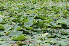 Wasser-Kresse im Großen Teich Lizenzfreies Stockfoto