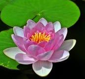 Wasser-Lilie Stockbild