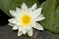 Wasser-Lilie Stockfoto