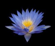 Wasser-Lilie Stockbilder