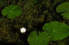 Wasser-Lilie Lizenzfreie Stockfotografie