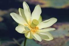 Wasser-Lilie 4 Stockbild