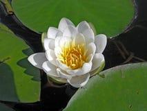 Wasser-Lilie. Stockfotografie
