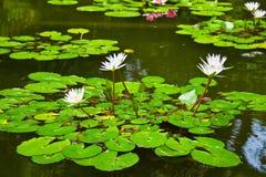 Wasser-Lilie im Teich Stockbild