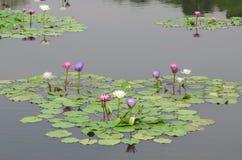 Wasser-Lilie im Teich Lizenzfreie Stockfotografie