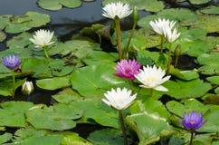 Wasser-Lilie im Teich Stockfotografie