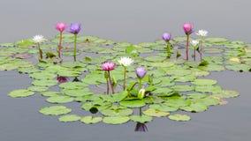 Wasser-Lilie im Teich Stockfotos