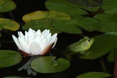 Wasser-Lilie und Frosch. Stockbild