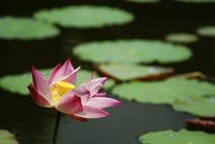 Wasser-Lilien Stockfotografie