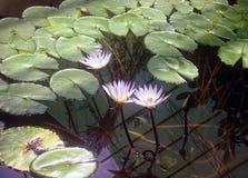 Wasser-Lilien Lizenzfreies Stockbild