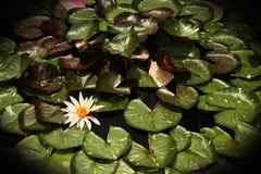 Wasser-Lilien-Auflage mit Blumen auf Teich stockbild