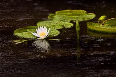 Wasser-Lilien-Auflagen u. Blume   Lizenzfreie Stockbilder