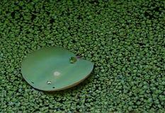 Wasser-Lilien-Blatt Stockfoto