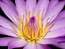 Wasser-Lilien-Blume stockbilder