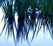 Wasser-Lilien-Reflexion   Lizenzfreie Stockfotografie