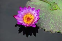 Wasser-Liliennahaufnahme mit Reflexion Stockbild
