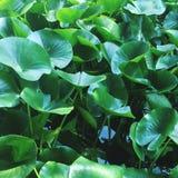 Wasser Lillies lizenzfreies stockfoto