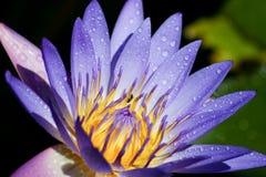 Wasser lilly Stockfoto