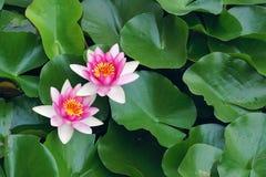 Wasser lilly Lizenzfreies Stockbild
