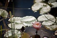 Wasser lilly Stockfotografie