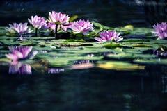 Wasser lilly Stockbild