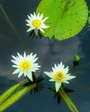 Wasser lilly Lizenzfreie Stockfotografie