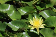 Wasser lilly Stockfotos